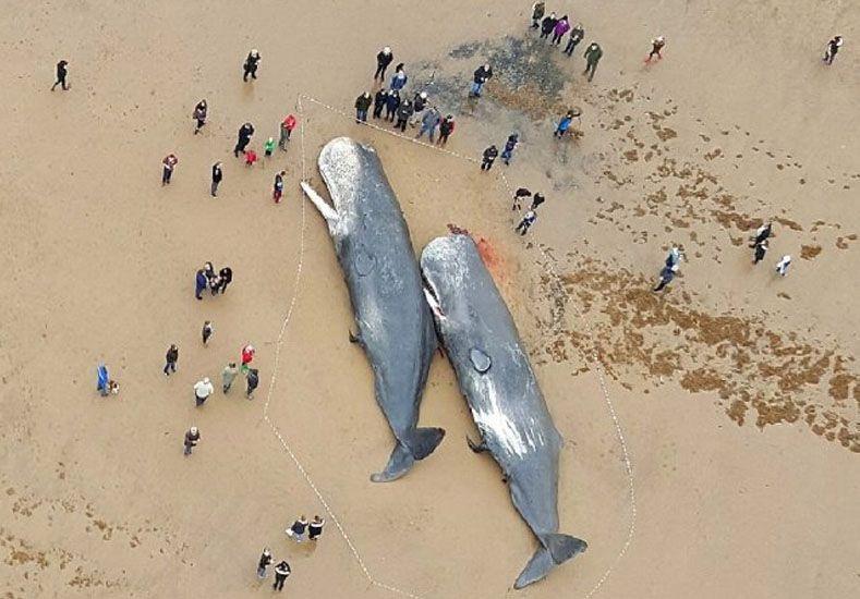 Cuatro ballenas de 50 toneladas aparecieron muertas en la costa inglesa