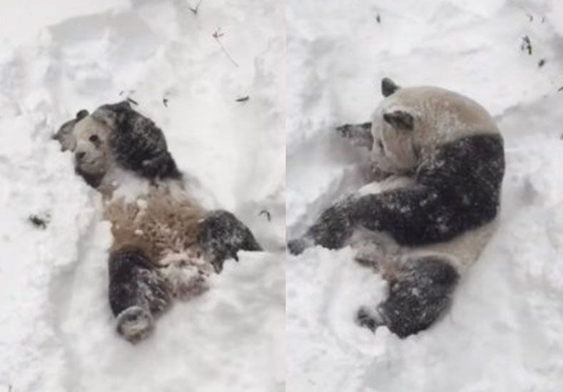 Un oso panda disfrutó a pleno de la tormenta de nieve Jonas en Estados Unidos