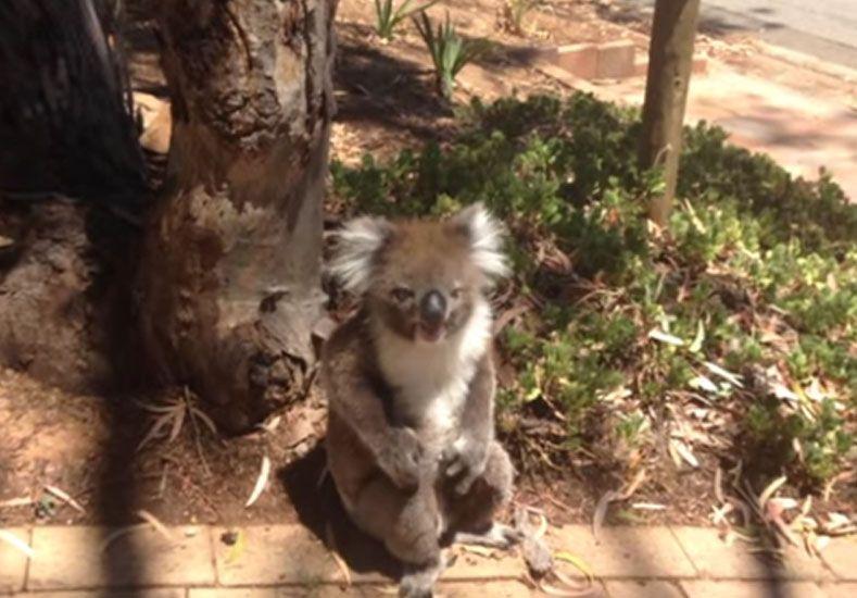 Los koalas también lloran: un berrinche que sorprende al mundo