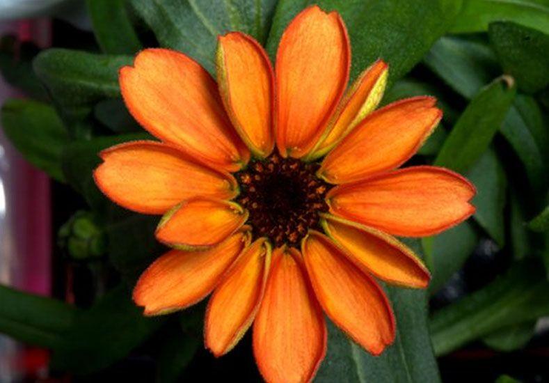Floreció por primera vez una planta en el Espacio en la EEI