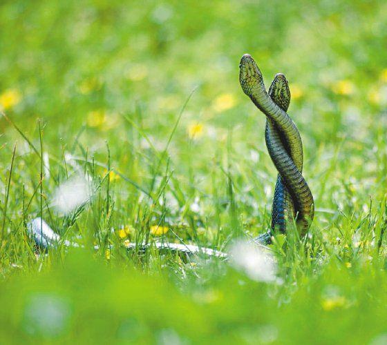 Los investigadores comenzaron la observación de los órganos genitales femeninos en serpientes y ballenas. / Archivo particular