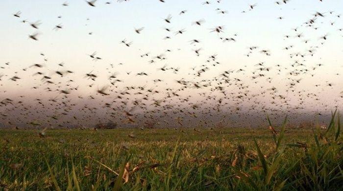 La peor plaga de langostas azota algunas provincias