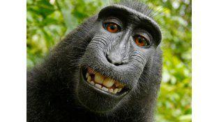 Niegan derechos de autor al mono que se hizo una selfie