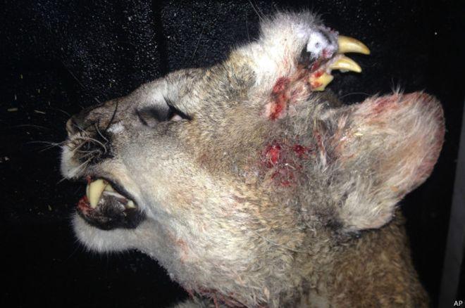 El león que tenía una dentadura completa en la cabeza