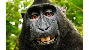 El macaco negro crestado que supuestamente se tomó una autofoto.