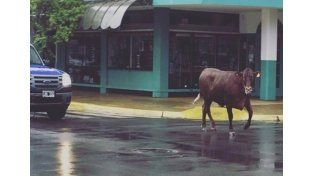 Una vaca embistió e hirió a una mujer en pleno centro de Junín