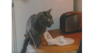 Gato aterrado por una tostadora se viraliza en internet