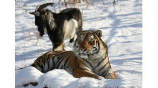 Una cabra, que debía ser su alimento, se convierte en amigo del tigre