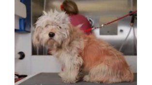 Afeitaron a un perro sin hogar y encontraron algo increíble debajo de su pelo