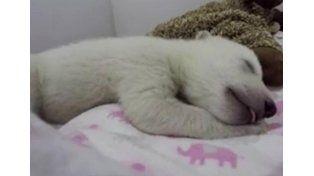 Pura ternura: mirá el video del oso polar durmiendo
