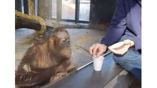 El ataque de risa de la orangutana que se volvió viral