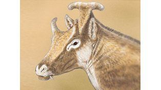 El rumiante de tres cuernos emparentado con las jirafas