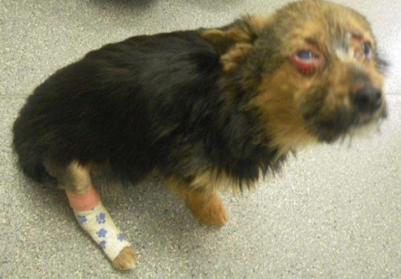 La increíble recuperación de un perro que fue robado y torturado