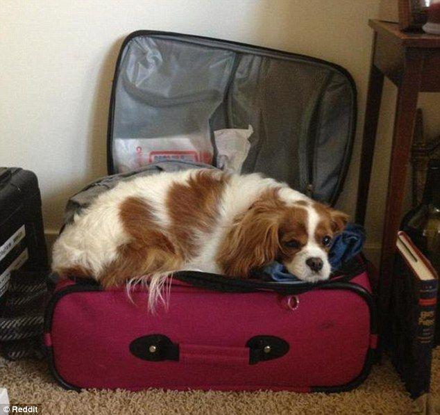 Mascotas que no soportan ver a sus dueños armando la valija