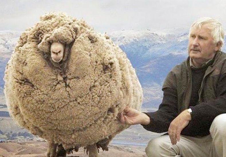La oveja rebelde: se escondió durante 6 años para que no la esquilen