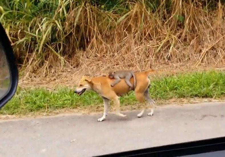 Pura ternura: una perra adoptó a un monito huérfano y se hizo viral