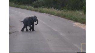Un bebé elefante a la caza de pájaros se hace viral