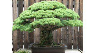 El bonsái Yamaki