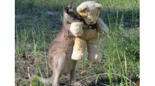 Un cangurito huérfano adopta un oso de peluche