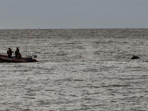 La ballena varada salió del Dique 4 e intentan guiarla hacia aguas abiertas.  Foto:  LA NACION  / Ricardo Pristupluk