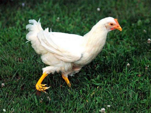 Una gallina también con una pata impresa en 3D