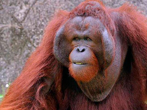 Así se porta este orangután con una embarazada