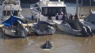 Personal de Prefectura y profesionales especializados se dirigieron al lugar para intentar identificar a la ballena.