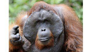 ¡Impresionante! Un orangután sorprendió a una mujer embarazada de la manera más linda...