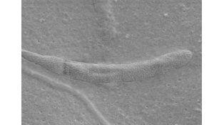 Hallan un espermatozoide de hace 50 millones de años