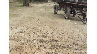 Preocupación en Santiago del Estero por una invasión de langostas