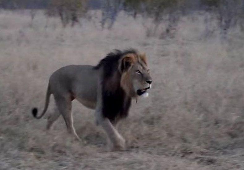 Un cazador mató al león más famoso de Zimbabwe