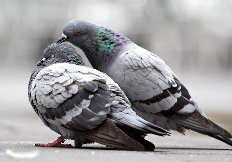 Anticonceptivos para palomas: la curiosa iniciativa española
