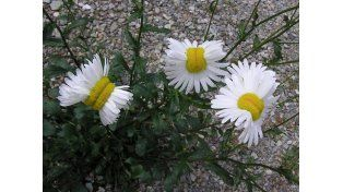 Flores deformes crecen cerca de Fukushima
