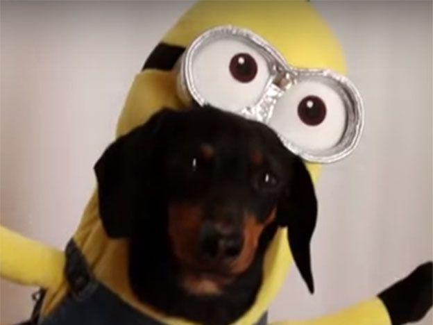 Furor en la red: los perros minion