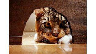 El arma secreta de los gatos para cazar ratones