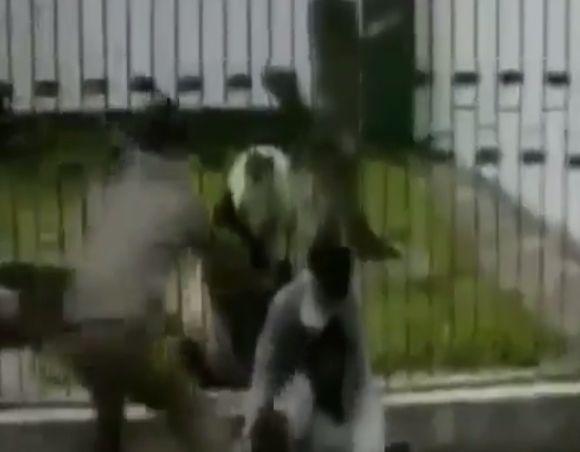Brutal ataque de un oso panda en un Zoo