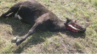 ¿Chupacabras? Aparecieron vacas mutiladas en Córdoba