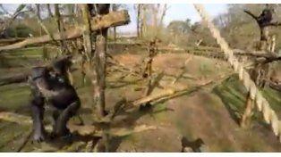 Un mono derribó con un palo a un drone que espiaba las costumbres de su especie