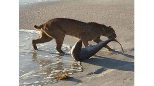 Un gato montés se metió al mar para atrapar tiburón