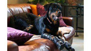 La historia de vida del rottwailer que perdió las cuatro patas y volvió a caminar