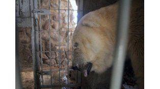 Mientras el oso Arturo agoniza, rematarían animales del zoológico