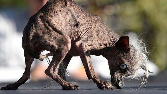 Este es Sweepee Rambo, elegido en Estados Unidos como el perro más feo del mundo