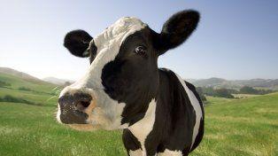 Científicos indios encontraron oro en la orina de una vaca