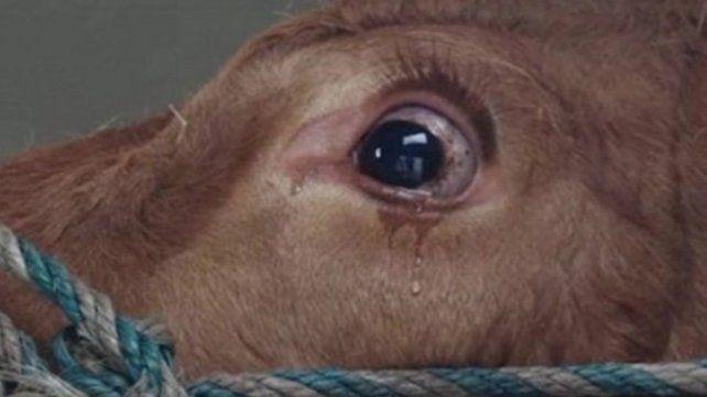 Una vaca llora al ser rescatada del matadero