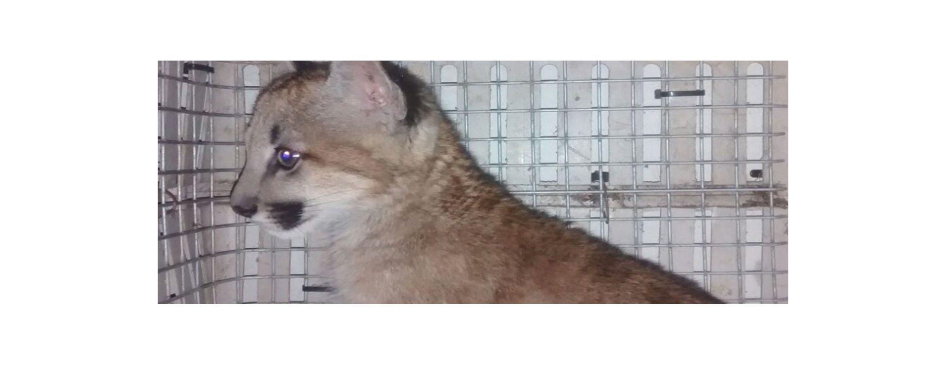 Personal de la Granja La Esmeralda rescató a un puma en López