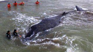 Apareció muerta la ballena que estuvo encallada en Mar del Tuyú