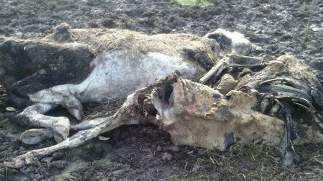 Misteriosas muertes de animales en un campo santafesino