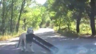 Otro ataque de un tigre en un mismo zoológico chino: esta vez la sacaron barata