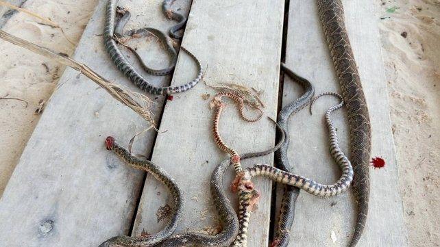 Limpiaban en el Espigón 2 y encontraron más de 30 Yararás