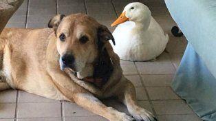 Perdió a su mejor amigo y ahora un pato lo hace feliz
